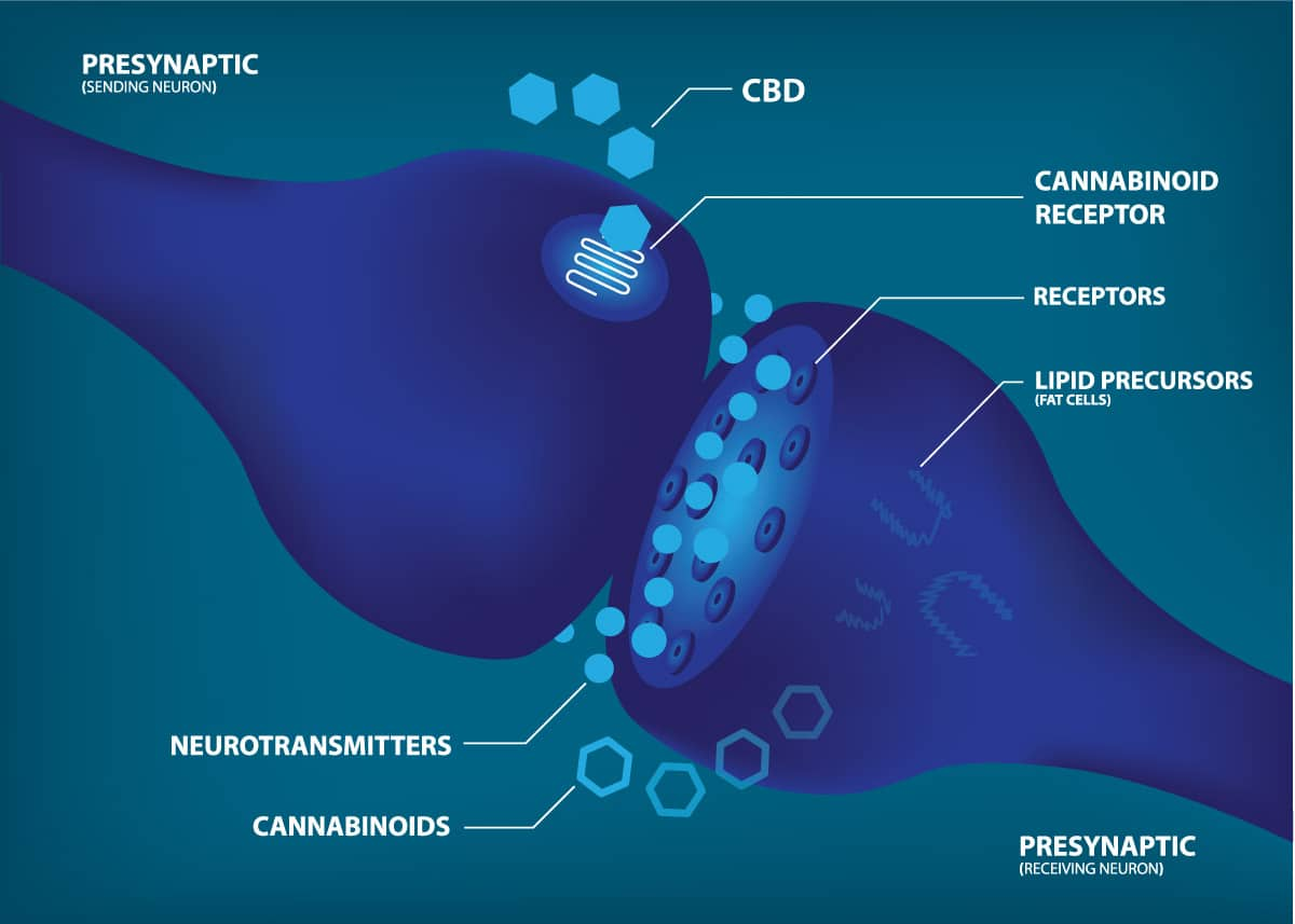 buy organic cbd cannabinoids and receptors